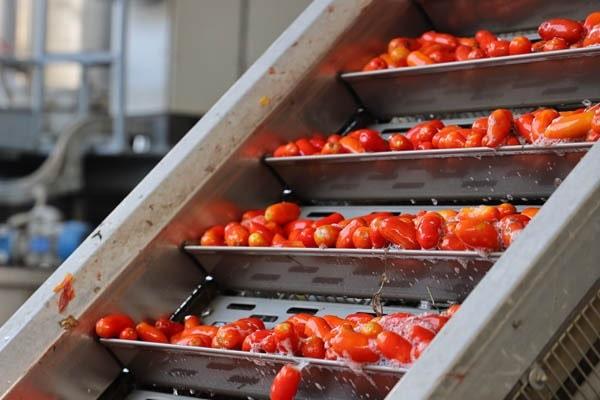 pomodori nastro lavorazione, solania