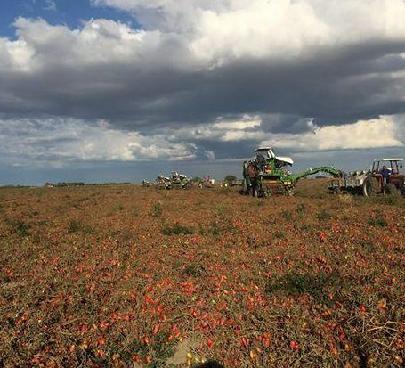 campo pomodori, rossogargano