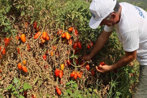 raccolta pomodori solania