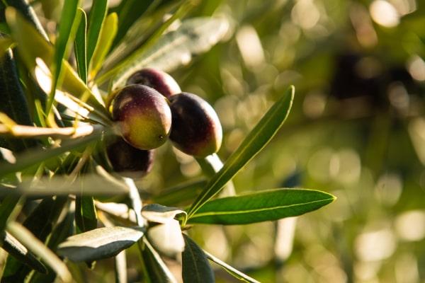 agricola borduito olive